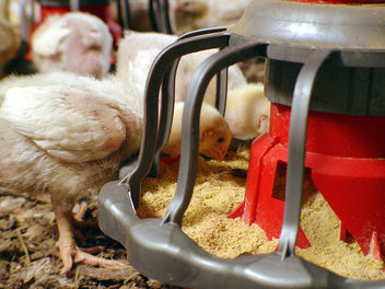 Ergonomic design makes it comfortable and easy for today's birds to eat, from day-old to grow out