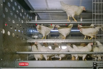 Producers can use Chore-Time's Volution Rearing System to systematically train pullets from day one for eventual successful housing in a cage-free layer operation.
